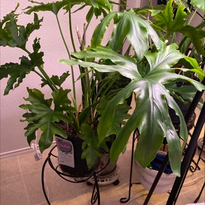 Tree Philodendron plant photo by Lalawilk365 named Phoebe on Greg, the plant care app.