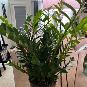 Rating of the plant ZZ plant named Athena by Lalawilk365 on Greg, the plant care app
