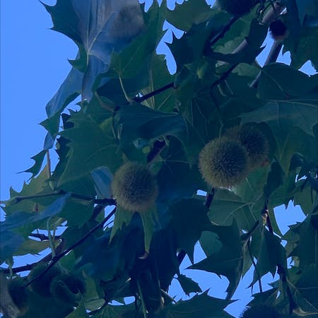Photo of the plant species Buttonwood by Megan named Not sure on Greg, the plant care app