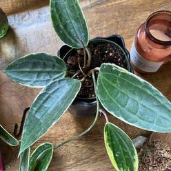 Hoya Krimson Queen plant