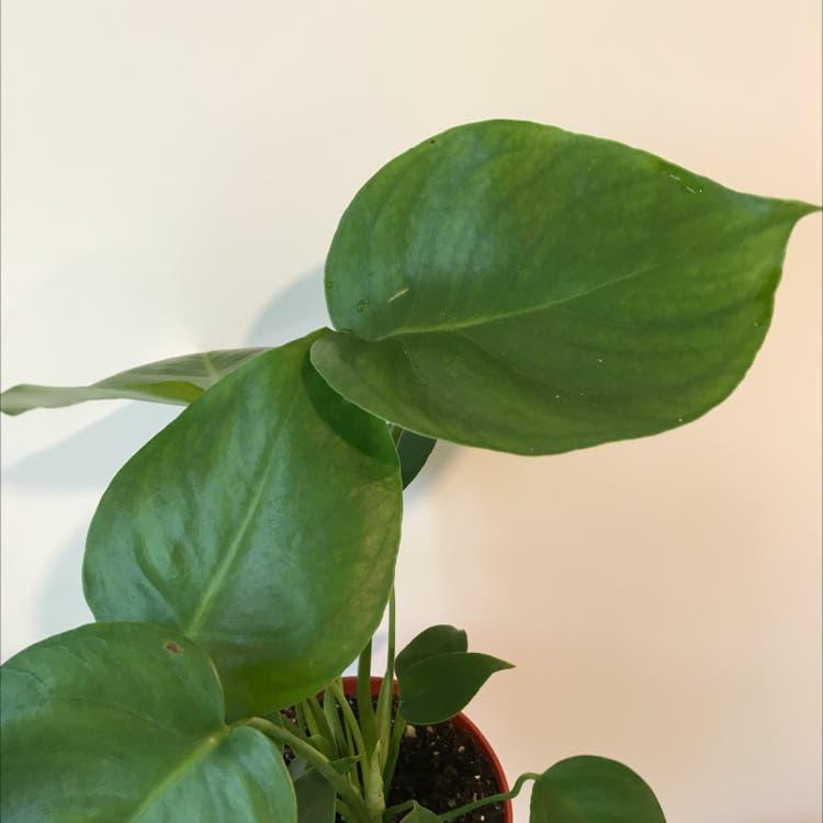 Monstera plant in Felton, California