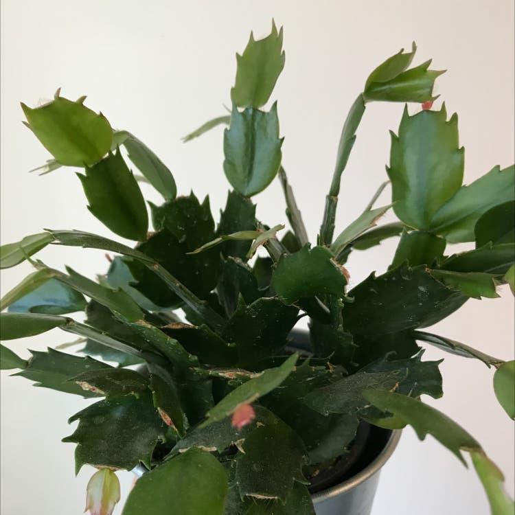 False Christmas Cactus plant in Felton, California