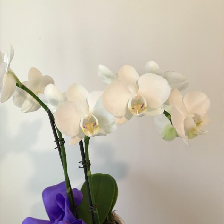 Phalaenopsis orchid plant in Felton, California