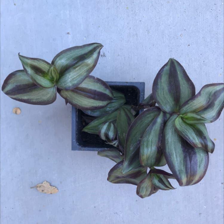Zebrina plant in Felton, California