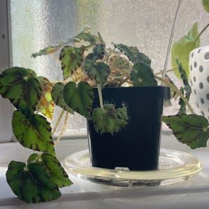 Eyelash Begonia plant photo by Pinkandgreen named Bowie on Greg, the plant care app.