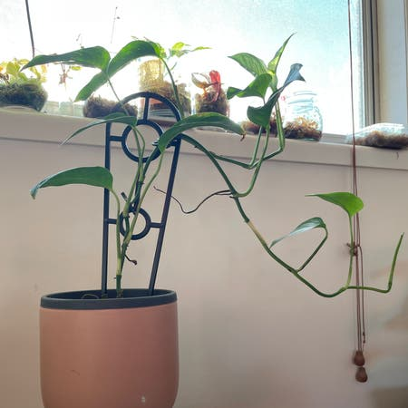 Photo of the plant species Monstera lechleriana by Pinkandgreen named Riana on Greg, the plant care app