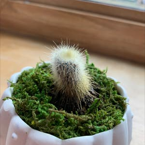 Lace Hedgehog Cactus plant photo by Treeoflife1993 named Leonardo on Greg, the plant care app.