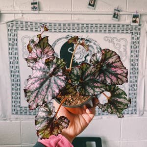Rex Begonia plant photo by Demi named Candy on Greg, the plant care app.