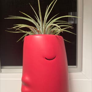Spreading Airplant plant photo by Eazyali named Kissy face on Greg, the plant care app.