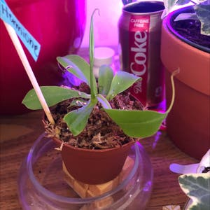 Tropical Pitcher Plant plant photo by Rebeccae21 named Hermione on Greg, the plant care app.