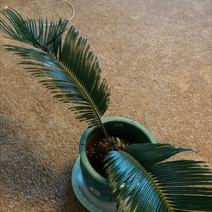 Sago Palm plant photo by Mars named Robert Plant on Greg, the plant care app.