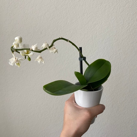 Photo of the plant species Convallaria Majalis by Weaksoulja named Annie on Greg, the plant care app