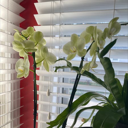 Photo of the plant species Easter Orchid by Patty named White orchid on Greg, the plant care app