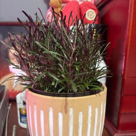 Photo of the plant species Oenothera Lindheimeri by Patty named Anne on Greg, the plant care app