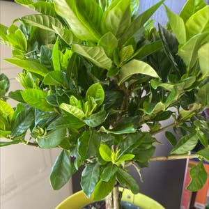 Cape Jasmine plant photo by Helenawind named Your plant on Greg, the plant care app.