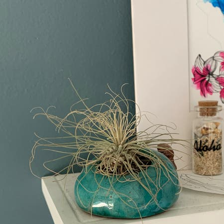 Photo of the plant species Tillandsia andreana by Kara named Aria on Greg, the plant care app