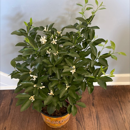 Photo of the plant species Calamondin by Snbns named Darwin on Greg, the plant care app