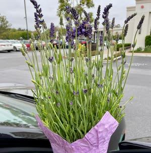 English Lavender plant photo by 00severijn named Beatriz on Greg, the plant care app.