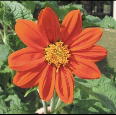 Photo of the plant species Tithonia Rotundifolia by Vickie named Cozumel on Greg, the plant care app