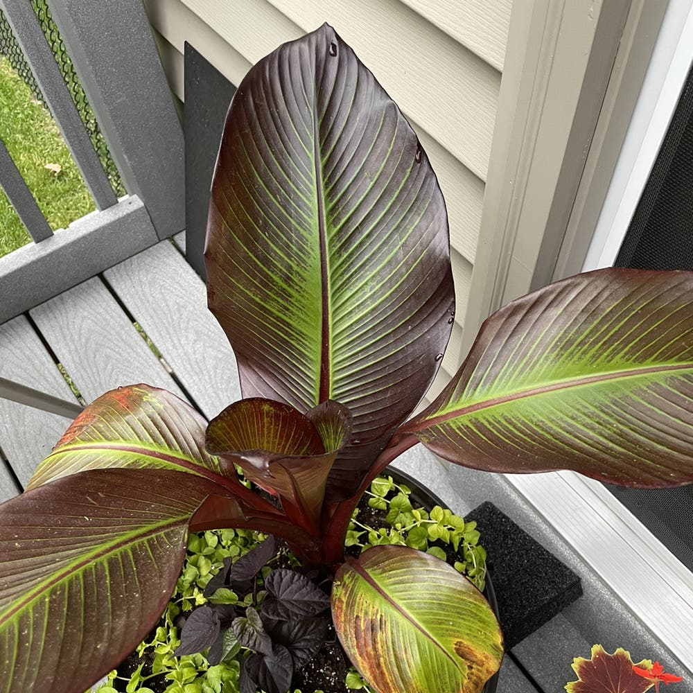 Photo of the plant species Abyssinian banana by Judy named Nana on Greg, the plant care app