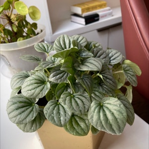 Rating of the plant Emerald Ripple Peperomia named Maya by Alex on Greg, the plant care app