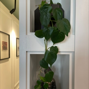Rating of the plant Heartleaf philodendron named Nina by Alex on Greg, the plant care app