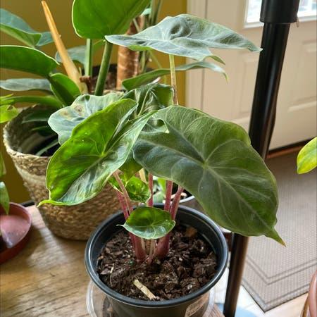 Photo of the plant species Dwarf Elephant Ear by Myla named Dwarf Elephant Ear on Greg, the plant care app