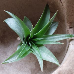 Brachycaulos Green Air Plant plant photo by Makaylagal named Air Plant on Greg, the plant care app.