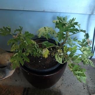Hooded-leaf pelargonium plant in Somewhere on Earth