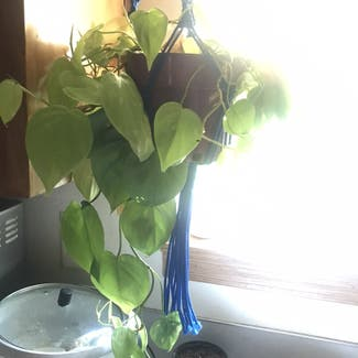 Neon Pothos plant in Somewhere on Earth