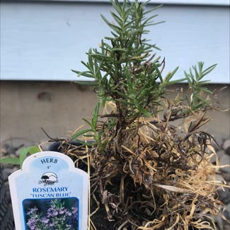 Rosemary plant in Somewhere on Earth
