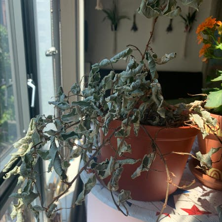 Photo of the plant species Thorny elaeagnus by Abagailmae named frank on Greg, the plant care app