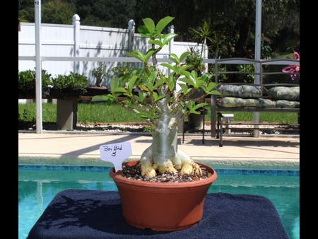 Photo of the plant species Plumeria Obtusa by Laura named Your plant on Greg, the plant care app