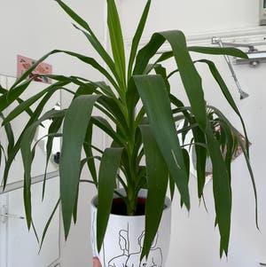 Blue-Stem Yucca plant photo by Plantitlikelauren named Yukka on Greg, the plant care app.