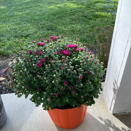 Photo of the plant species Hardy Chrysanthemum by Vannahvivian named Mummy on Greg, the plant care app