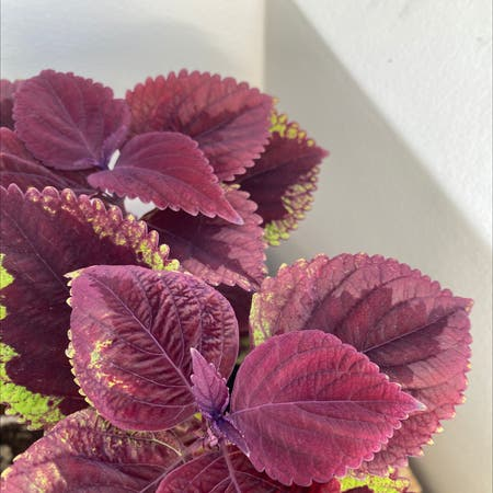 Photo of the plant species Coleus scutellarioides by Queenofplants named Sigmund on Greg, the plant care app
