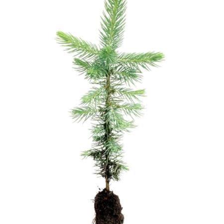 Photo of the plant species Douglas Fir by Azhalaya named Rainier on Greg, the plant care app