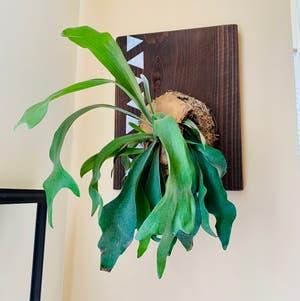 Elkhorn Fern plant photo by Veezpottedgarden named Buck on Greg, the plant care app.