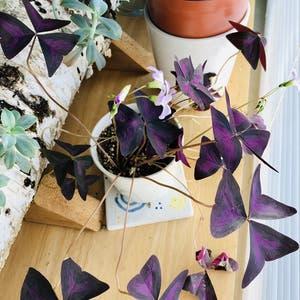 Purple Shamrocks plant photo by Veezpottedgarden named Oxana on Greg, the plant care app.