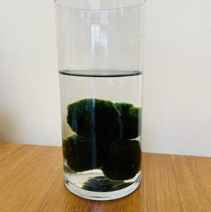 Marimo plant photo by Veezpottedgarden named Marimo on Greg, the plant care app.
