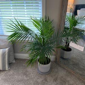 Majesty Palm plant photo by Lskwierc named Emma on Greg, the plant care app.
