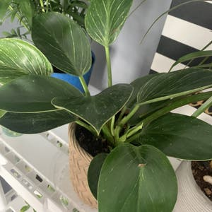 Rating of the plant Philodendron 'Birkin' named Delilah by Ellen on Greg, the plant care app