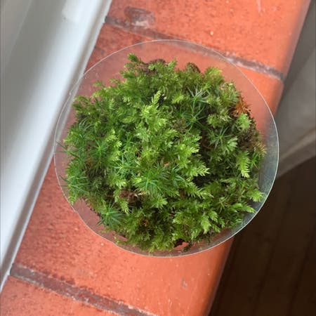 Photo of the plant species Horn Calcareous Moss by Cquelch named Avery on Greg, the plant care app