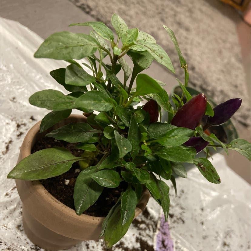 Ornamental Pepper plant in Kenosha, Wisconsin