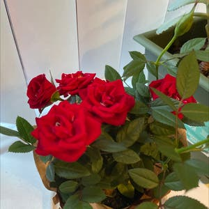 Miniature Rose plant photo by Emplants named Queen of ♥️ on Greg, the plant care app.