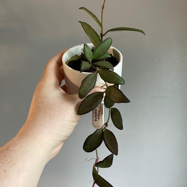Hoya 'Rosita' plant in Fox Island, Washington