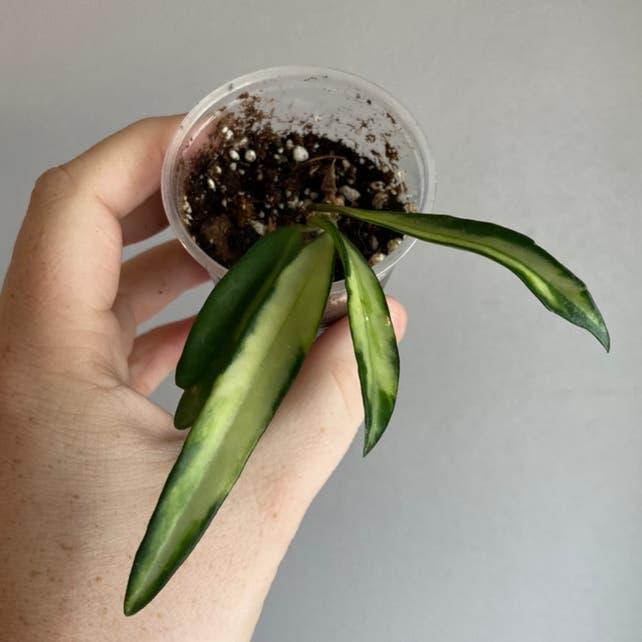 Hoya wayetii plant in Fox Island, Washington
