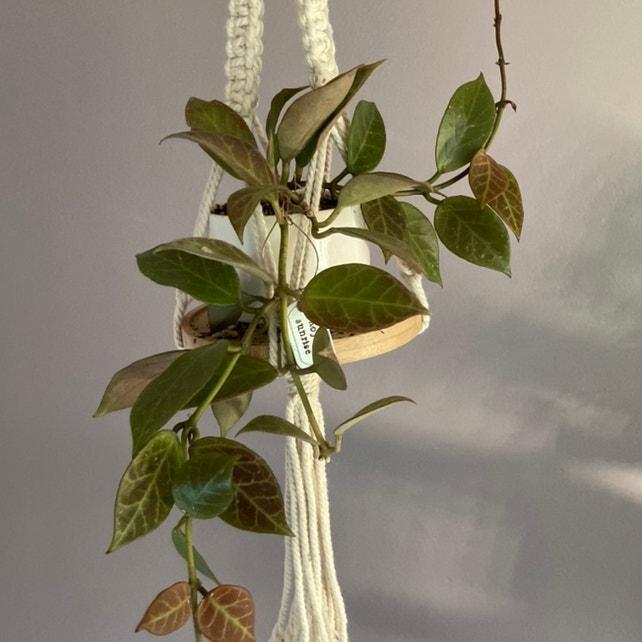 Hoya 'Sunrise' plant in Fox Island, Washington