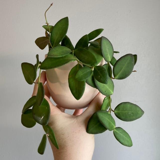Hoya 'Burtoniae' plant in Fox Island, Washington