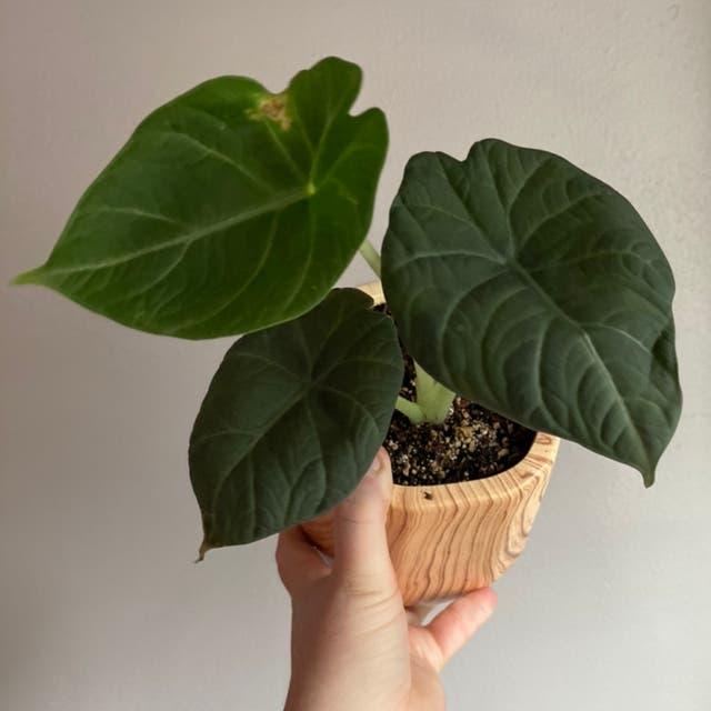 Alocasia 'Maharani' plant in Fox Island, Washington